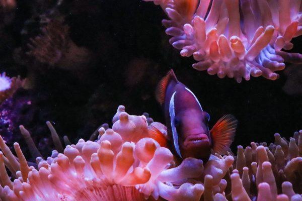 Clownfisch in Anemone