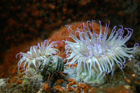 Anemonen im Aquarium